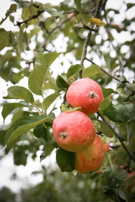 äpplen-5